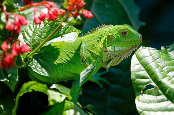 best pets for kids - iguana