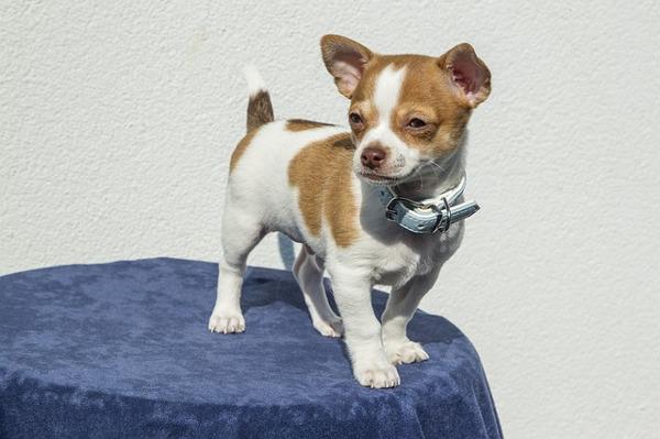 tiny dogs: chihuahua