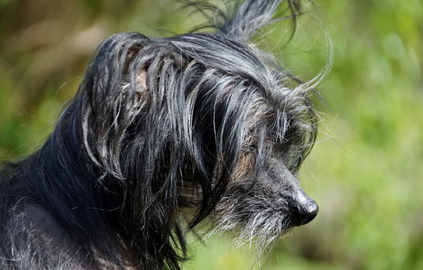 tiny dogs: chinese crested