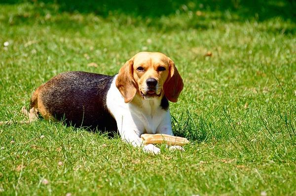 tiny dogs: english beagle