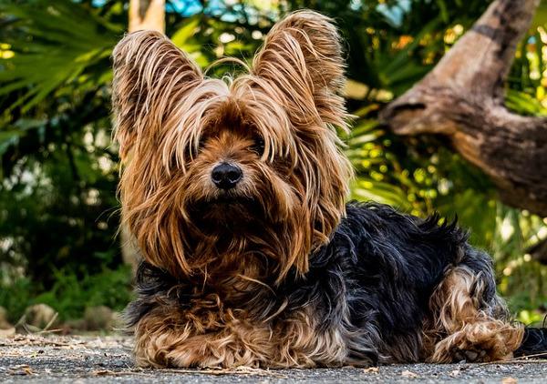 tiny dogs: skye terrier