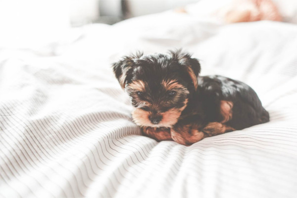 tiny dogs: yorkshire terrier