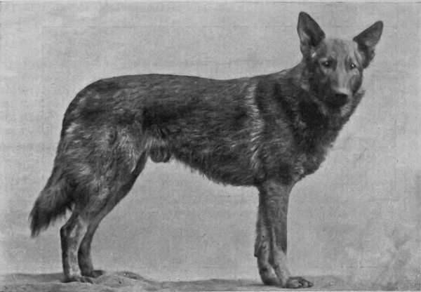 The german shepherd origin