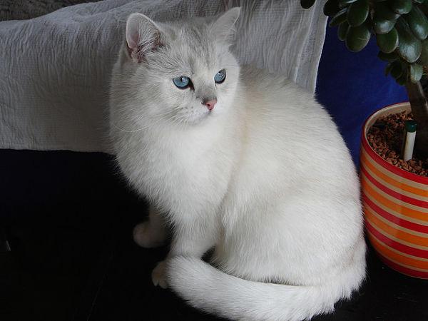 White British Shorthair Cat Breeders