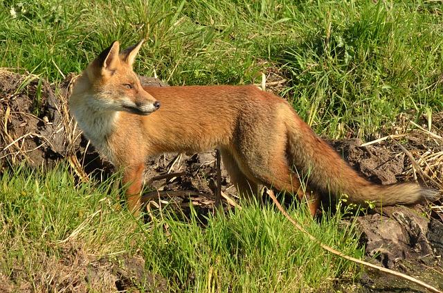 fox-1682882_640