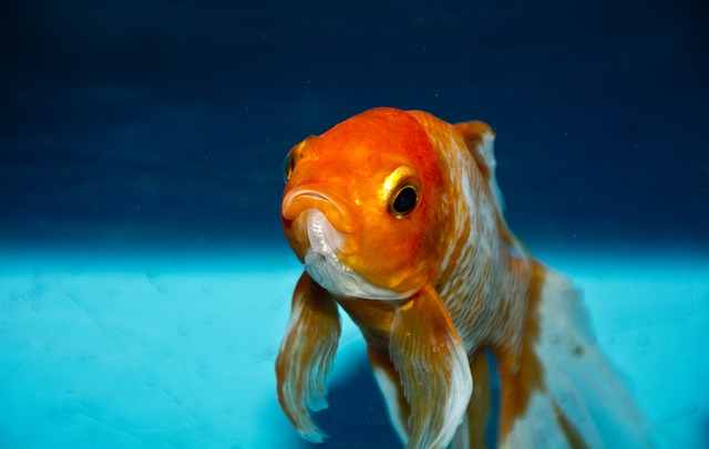 goldfish staring at your soul