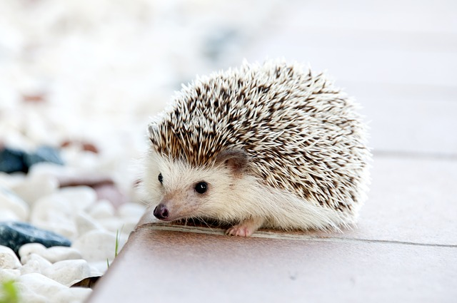 hedgehog-468228_640