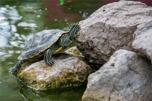 pet-turtle