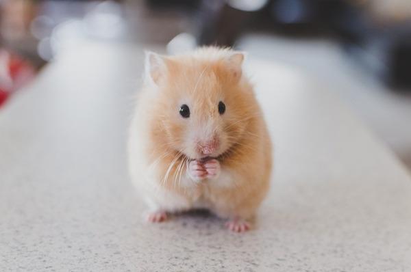 best pets for kids - hamster