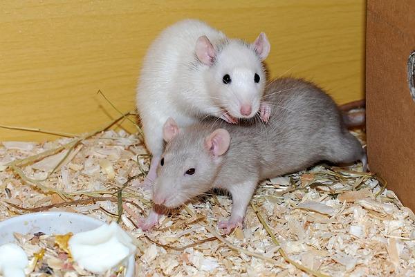 best pets for kids - rat