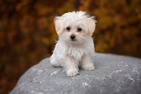 tiny dogs: maltese