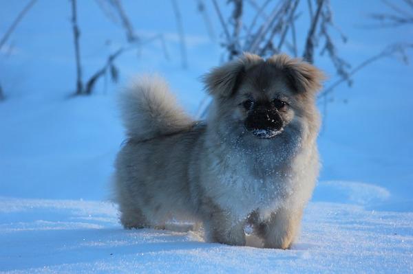 tiny dogs: tibetan spaniel