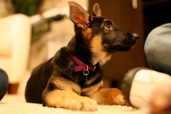 German-Shepherd-Puppy-Training