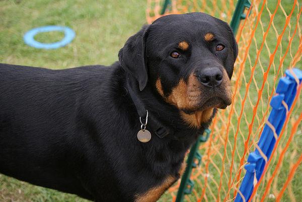Dog Rottweiler Training Rottweiler - Fantastic...