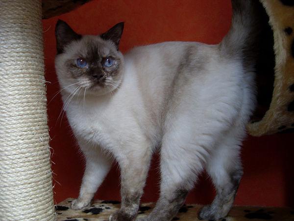 Colorpoint Shorthair - Fantastic Pet Encyclopedia, UK