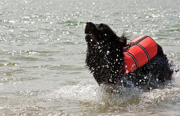 Newfoundland Dog - Fantastic Pet Encyclopedia, UK Newfoundland Swimming