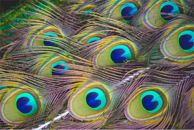 colorful-peacock-feathers-picjumbo-com