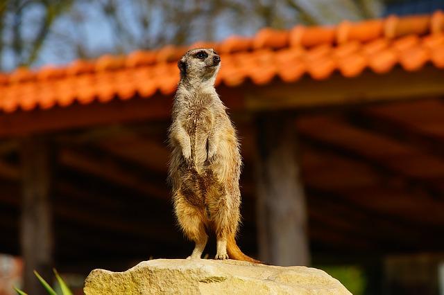meerkat-1357361_640